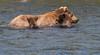 Alaskan brown bear sow and cubs