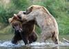 Two Alaskan brown bears fighting