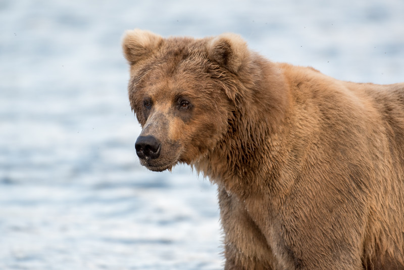 Alaskan brown bear sow