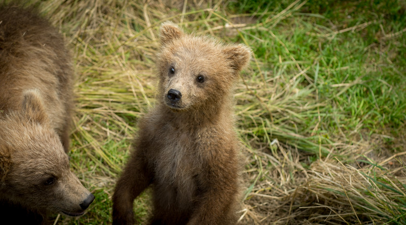 Cute Alaskan brown bear cub