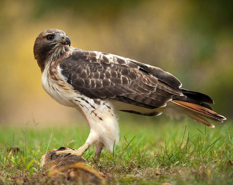 A red tailed hawk with blood on its beak eating squirrel on the ground