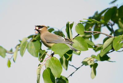 Cedar waxwing eating a berry
