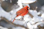 A northern cardinal is perched on a snow covered branch following a winter snowstorm in the midwest.