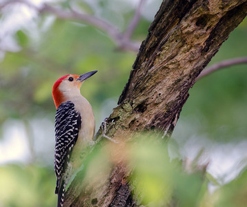 Red-bellied woodpecker perched in a tree