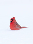 A northern cardinal sits in the snow following a winter storm