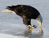 A bald eagle looks at its reflection in the ice of the mississippi river
