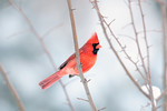 A cardinal perched in a tree following a winter storm