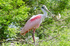 A colorful roseate spoonbill perched in a tree in Florida.