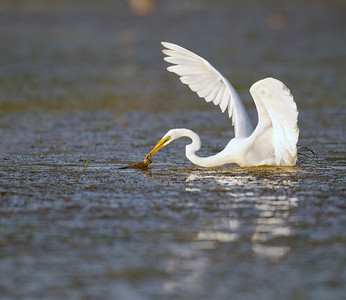 A great egret searches for a meal in a Florida swamp