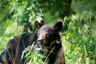 A black bear makes its way through a meadow in Smoky Mountain National Park