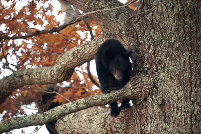 A cute black bear cub sitting in a tree in Smoky Mountain National Park