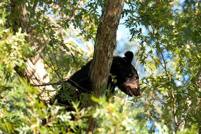 A black bear om a tree in Smoky Mountain National Park