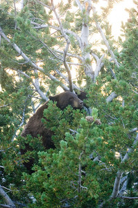 A black bear sits in a tree and feeds on pine cones in Yellowstone National Park