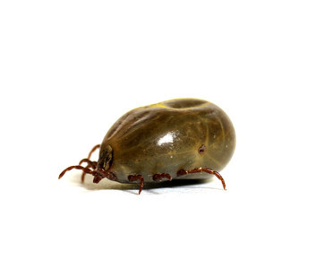 A tick filled with blood on white background