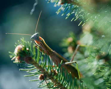 Praying mantis searching for a meal in evergreen tree