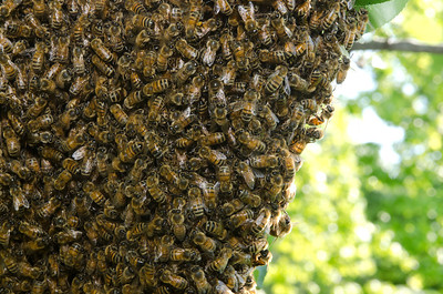 A swarm of European honey bees clinging to a tree