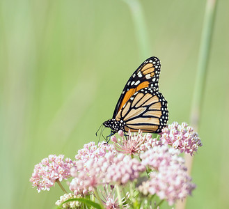 A monarch butterfly stops at a flower for a quick meal