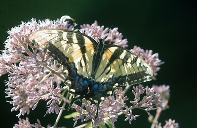 A swallowtail butterfly visits a flower in the spring