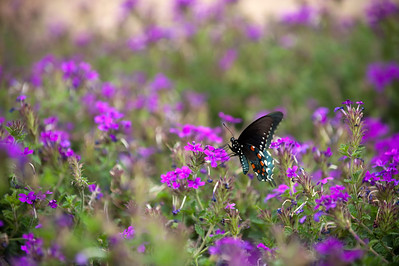 Swallowtail butterfly in a garden of purple flowers