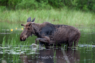 Moose wading through a pond in Algonquin Provincial Park