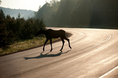 Moose backlit by morning light as it crosses a highway in Algonquin Provincial Park