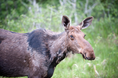 A moose with spring coat standing in Canadian woods