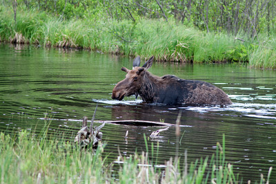 Moose wading through a pond in Algonquin Provincial Park