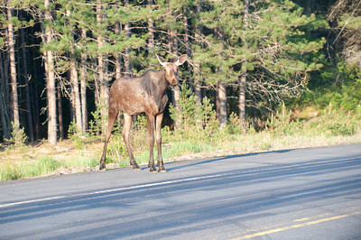 Moose feeding in ditch near a highway in Algonquin Provincial Park