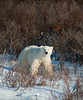 Large female polar bear