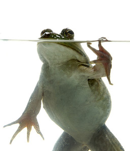 Large bullfrog in pond water with white background