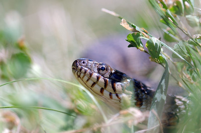 A northern water snake in the grass near a small pond