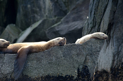 Stellar sea lions resting on a rock in Kenai Fjords National Park