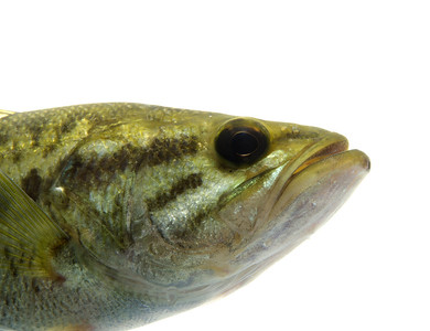 Largemouth bass in the water with white background