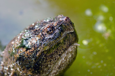 A common snapping turtle in the water of pond in Illinois