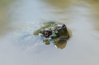 Common snapping turtle at a small pond
