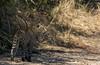 Leopard walking along a dry river bed