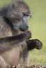 Cape babboon feeding
