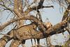 Leopard feeding on impala