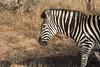 Plains zebra in the bush