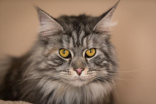 long haired cat portrait