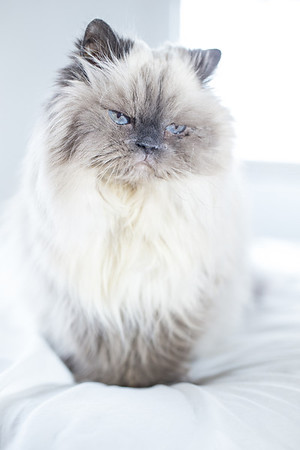 blue eyed long hair elderly cat