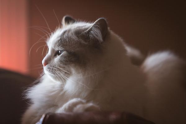 rag doll cat side portrait