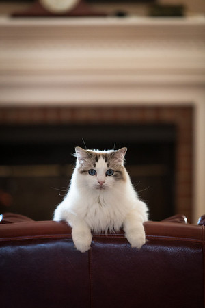 rag doll cat portrait in a living room