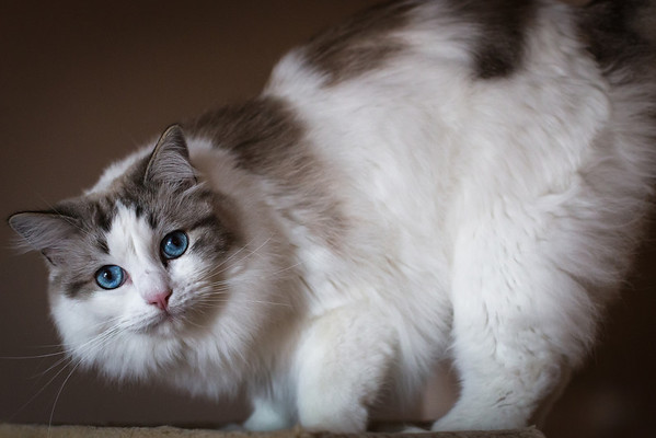 arched back rag doll cat
