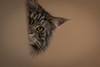 long hair cat peeking around a corner