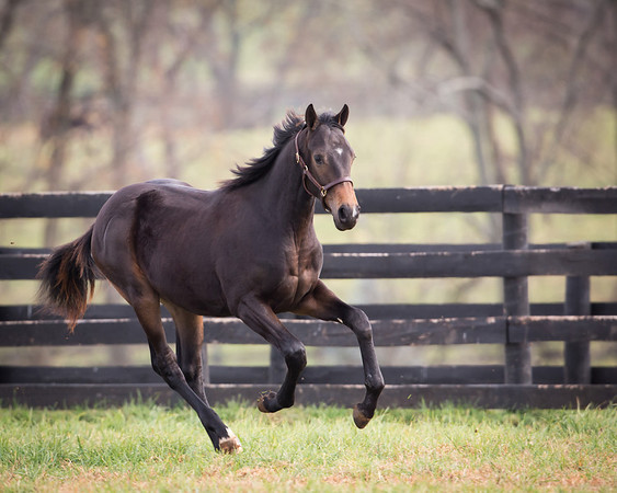 thoroughbred yearling playing in a field