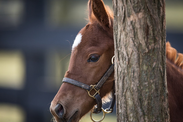Niji's Grand Girl - Giants Causeway '13 at Mulholland Farm on 2.7.13 foal playing hide and seek
