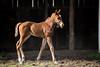 Niji's Grand Girl - Giants Causeway '13 at Mulholland Farm on 2.7.13  young foal