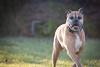 boxer playing