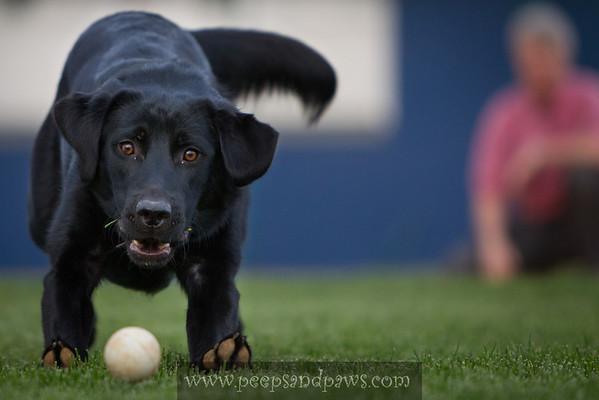 black lab playing fetch